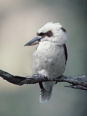 Laughing Kookaburra (Dacelo Novaeguineae) Perching on Branch, Australia by Gerry Ellis