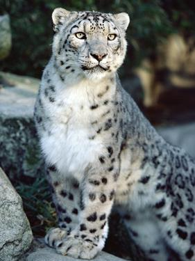 Snow Leopard (Uncia Uncia), Woodland Park Zoo, Seattle, Washington by Gerry Ellis
