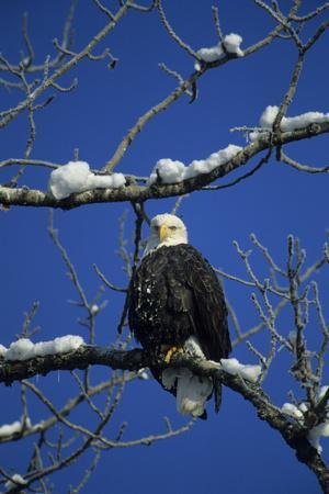 Bald Eagle, Chilkat River, Haines, Alaska, USA