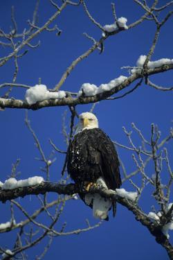 Bald Eagle, Chilkat River, Haines, Alaska, USA by Gerry Reynolds