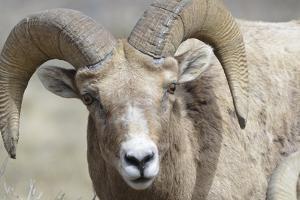 Bighorn Ram, Bighorn Sheep, Yellowstone National Park, Wyoming, USA by Gerry Reynolds