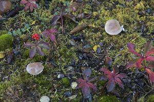 Boreal forest, lichen, moss, mushroom, autumn, Yukon, Canada by Gerry Reynolds