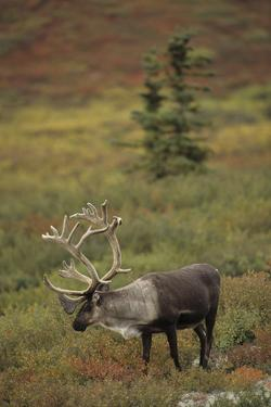 Bull Caribou Wildlife, Denali National Park, Alaska, USA by Gerry Reynolds