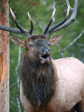 Bull Elk Bugling, Yellowstone National Park, Wyoming, Usa by Gerry Reynolds