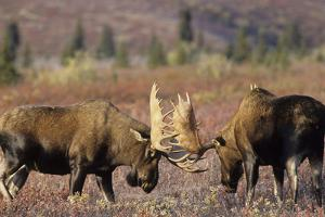 Bull Moose Wildlife, Denali National Park, Alaska, USA by Gerry Reynolds