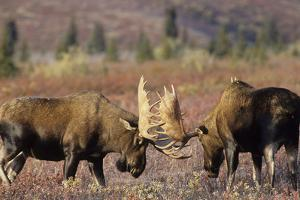 Bull Moose Wildlife, Denali National Park, Alaska, USA by Gerry Reynolds