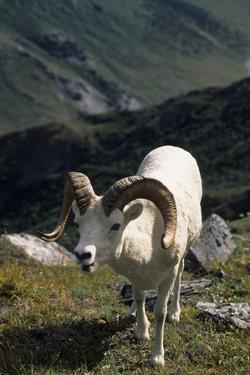 Dall Sheep, Dall Ram, Wildlife, Denali National Park, Alaska, USA by Gerry Reynolds