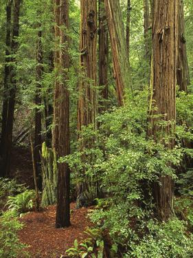 Muir Woods National Monument, Redwood Forest, California, Usa by Gerry Reynolds