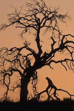 Oak Tree, Sunset, Pinnacles National Monument, California, USA by Gerry Reynolds