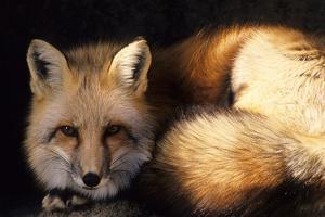 Red Fox Wildlife, New Mexico, USA by Gerry Reynolds