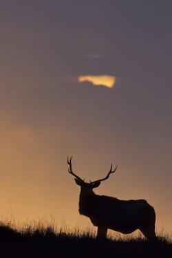 Sunset, Tule Elk Wildlife, Point Reyes National Seashore, California, USA by Gerry Reynolds