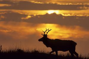 Sunset, Tule Elk Wildlife, Point Reyes National Seashore, California, USA by Gerry Reynolds