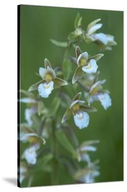 Marsh Helleborine {Epipactis Palustris} in Flower, Central Moldova, July 2009 by Geslin