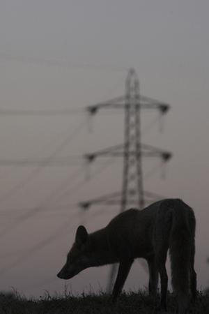 Urban Red Fox (Vulpes Vulpes) Silhouetted with an Electricity Pylon in the Distance by Geslin