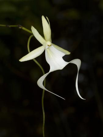 https://imgc.allpostersimages.com/img/posters/ghost-orchid-in-bloom-polyrrhiza-lindenii-florida-usa_u-L-PHAR0A0.jpg?p=0