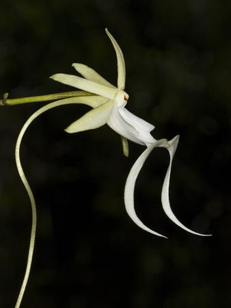 https://imgc.allpostersimages.com/img/posters/ghost-orchid-in-bloom-polyrrhiza-lindenii-florida-usa_u-L-PHAR0X0.jpg?p=0