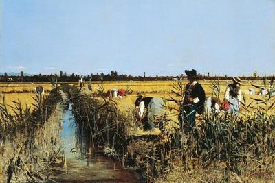 Harvesting Rice in Low Lands of Verona, 1877