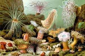 Sea Anemones by Giacomo Merculiano