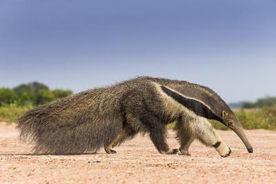https://imgc.allpostersimages.com/img/posters/giant-anteater-myrmecophaga-tridactyla-walking-in-habitat-hato-el-cedral-llanos-venezuela_u-L-Q13A7QI0.jpg?p=0