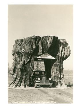 Giant Cedar Stump, Pacific Highway, Washington