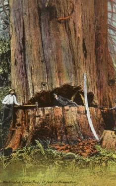 Giant Cedar Tree, Washington