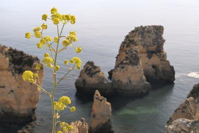https://imgc.allpostersimages.com/img/posters/giant-fennel-ferrula-communis-flowering-on-clifftop-with-sandstone-seastacks-in-the-background_u-L-PNGDHM0.jpg?p=0