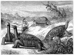 Giant Land Tortoises of the Galapagos Islands, 1884