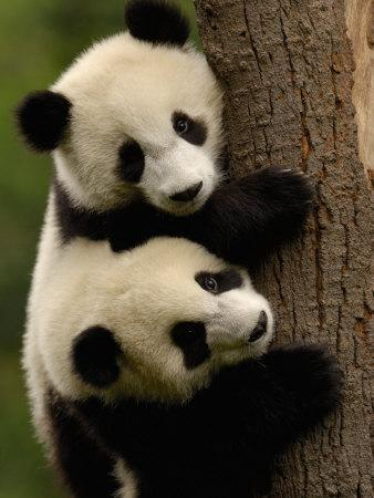 https://imgc.allpostersimages.com/img/posters/giant-panda-babies-wolong-china-conservation-and-research-center-for-the-giant-panda-china_u-L-P2U9CI0.jpg?p=0