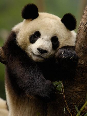 https://imgc.allpostersimages.com/img/posters/giant-panda-family-wolong-china-conservation-and-research-center-for-the-giant-panda-china_u-L-P2U8Z20.jpg?p=0