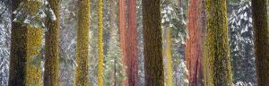 Giant Sequoia, California, USA