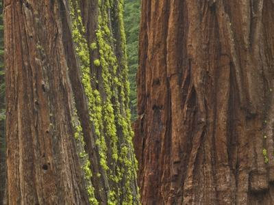 https://imgc.allpostersimages.com/img/posters/giant-sequoia-trees-with-mossy-bark-yosemite-national-park-california_u-L-PZRFN00.jpg?p=0