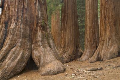 https://imgc.allpostersimages.com/img/posters/giant-sequoia-trees-yosemite-national-park-california_u-L-PZRFNC0.jpg?p=0