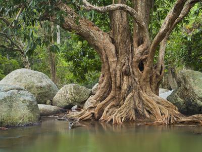 https://imgc.allpostersimages.com/img/posters/giant-tree-at-river-than-sadet-island-koh-phangan-thailand_u-L-Q11YLKG0.jpg?p=0