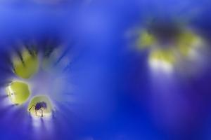 Stemless Gentian (Gentiana Clusii) Flowers, an Ant in One of Them, Liechtenstein by Giesbers