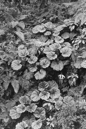 A Man Stands Dwarfed Under the Ape-Ape Leaves of Puohokamoa Gulch