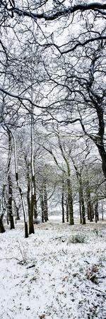 Light Dusting of Dnow in English Woodland, West Sussex, England, United Kingdom, Europe