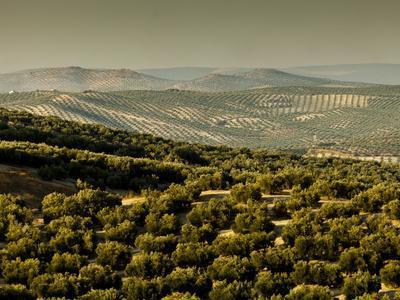 Olive Groves, Zuheros, Near Cordoba, Andalucia, Spain, Europe
