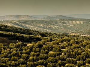 Olive Groves, Zuheros, Near Cordoba, Andalucia, Spain, Europe by Giles Bracher