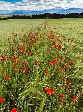 Wild Poppies (Papaver Rhoeas) and Wild Grasses with Sierra Nevada Mountains, Andalucia, Spain by Giles Bracher
