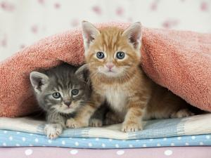 Ginger and Grey Tabby Kittens