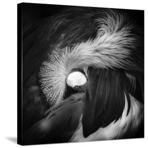 Grey Crowned Crane by Giovanni Casini