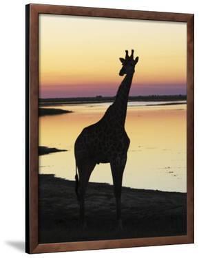 Giraffe at Sunset