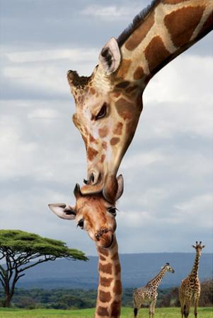 Giraffe Kissing Baby