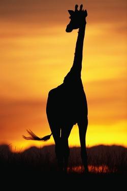 Giraffe Silhouetted at Sunset