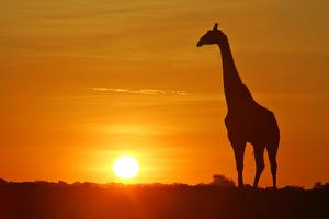 Giraffe Single Individual in Backlight with Setting Sun