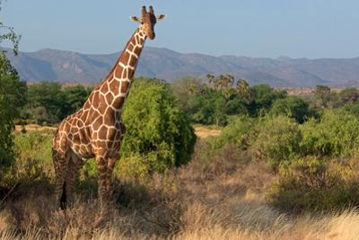 Giraffe Walking across Plain, Kenya