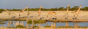 Giraffes (Giraffa Camelopardalis) at Waterhole, Etosha National Park, Namibia