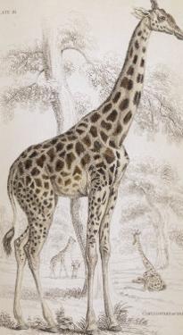 Giraffes in North Africa