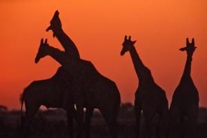 Giraffes 'Necking' at Sunset