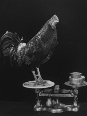 Gamecock Being Weighed Before a Fight by Gjon Mili